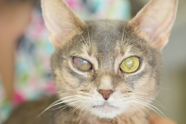 Eye Problems in Dogs and Cats—Treatment of Corneal Ulcers