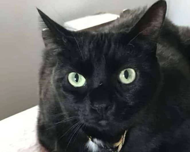 Why some shelters take care in adopting out black cats near