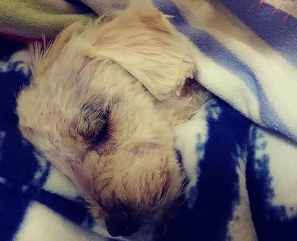 white fluffy dog wrapped in blue and white blanket, asleep.