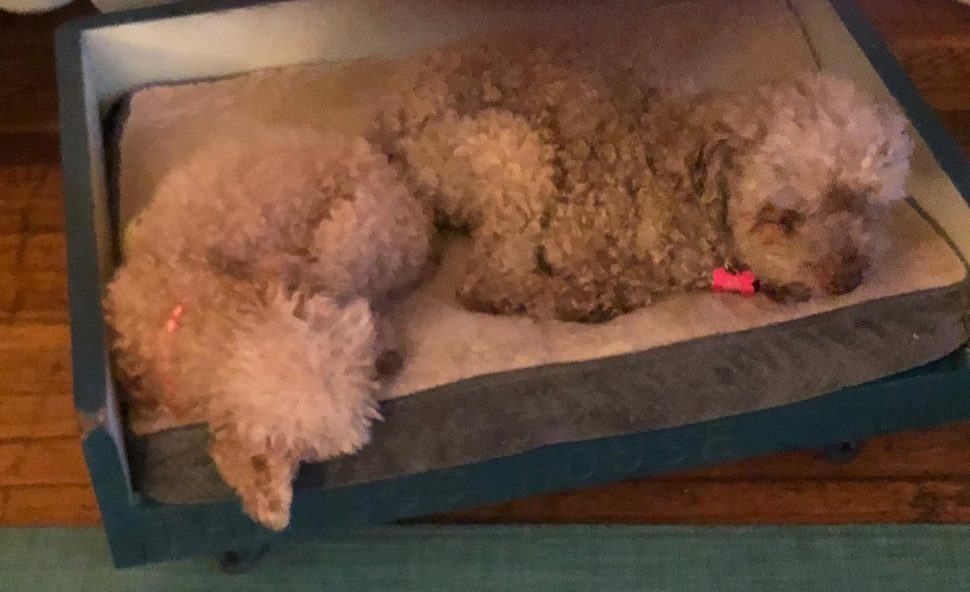 two small, fluffy, whitish poodles lying rump-to-rump on a white cushion