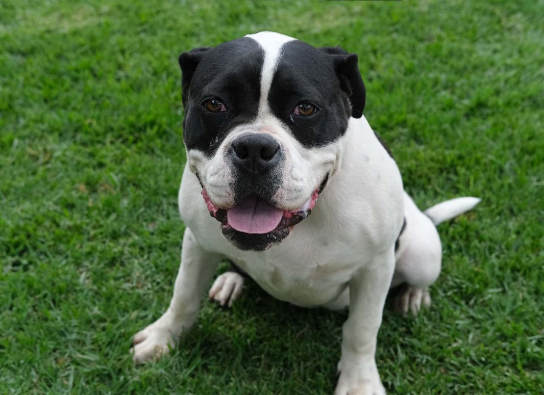 American bulldog with brown ears and mask and white body, sitting on grass