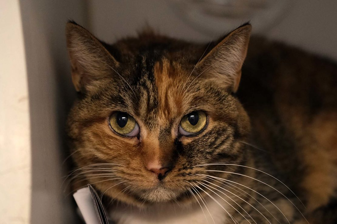 green-eyed tabby with calico markings stares at camera.