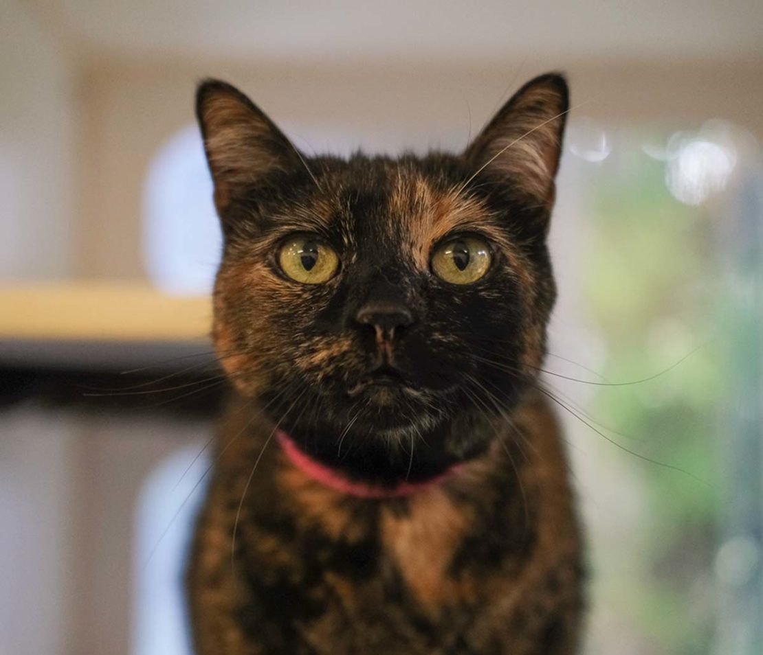 Tortie cat staring at camera, a pink collar around her neck
