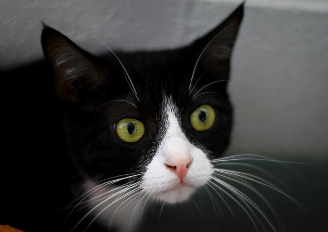 Tuxedo cat with white spade-shaped muzzle and pink nose, staring into camera
