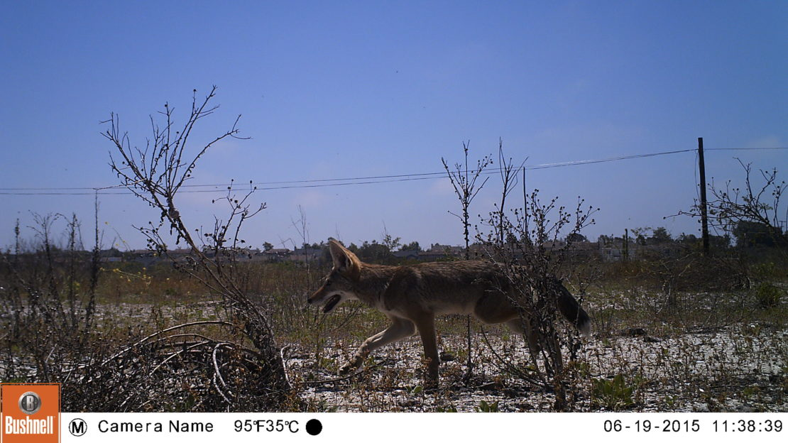 Brown coyote walks through brush and trees against a blue sky.