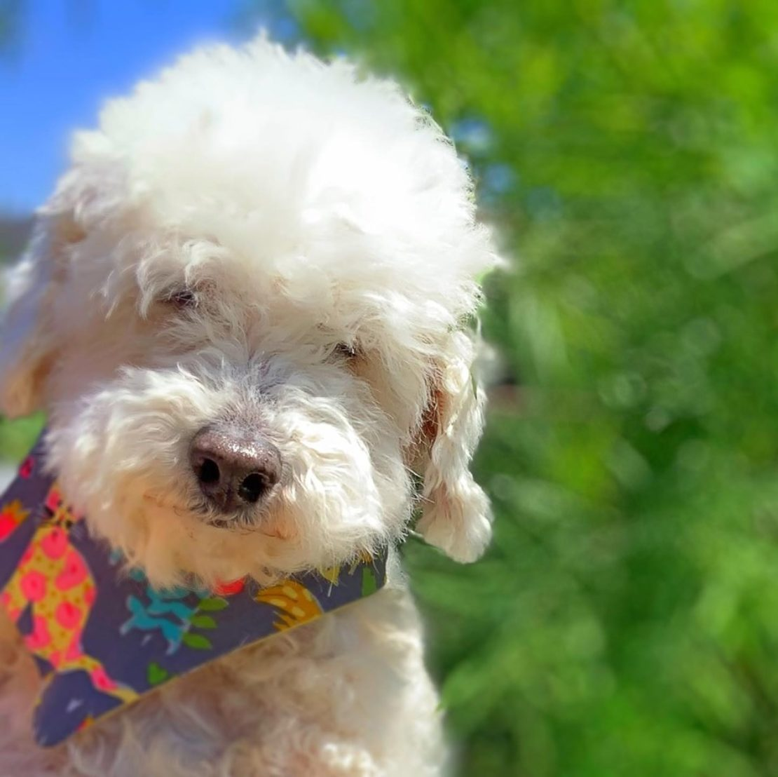 fluffy white Maltipoo sits by a large shrub. Her eyes are partially obscured by her fur. She wears a brightly colored bandana.