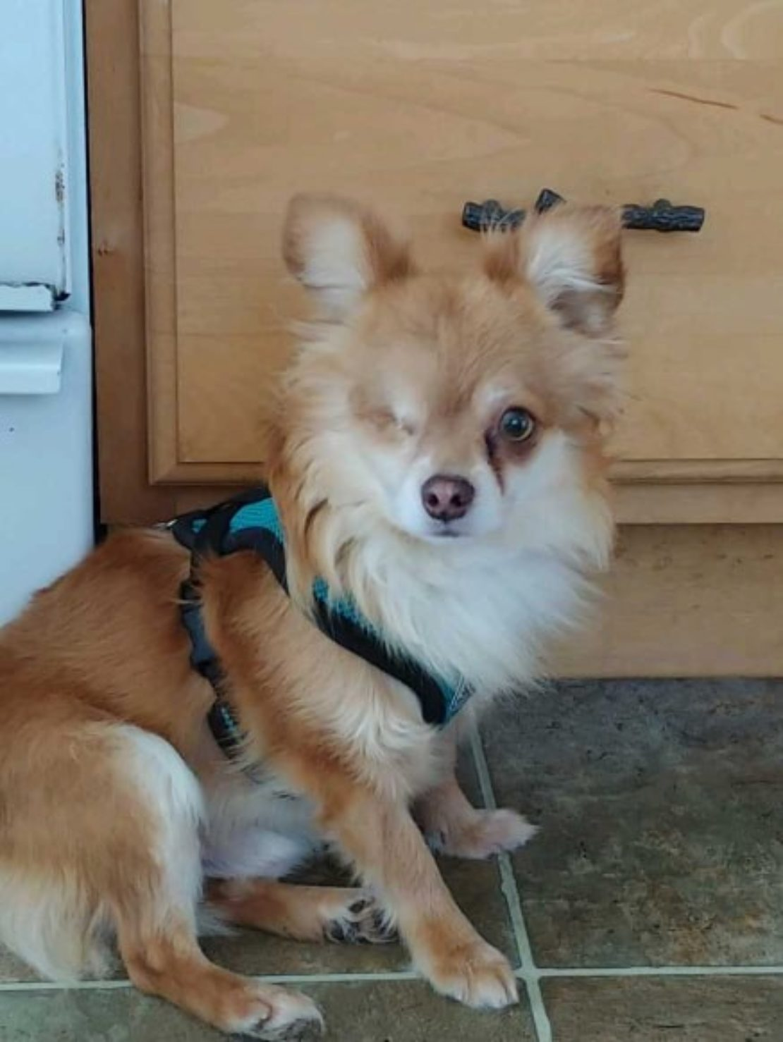 orange-and-white Pomeranian mix, wiht one eye and a harness, looks at camera