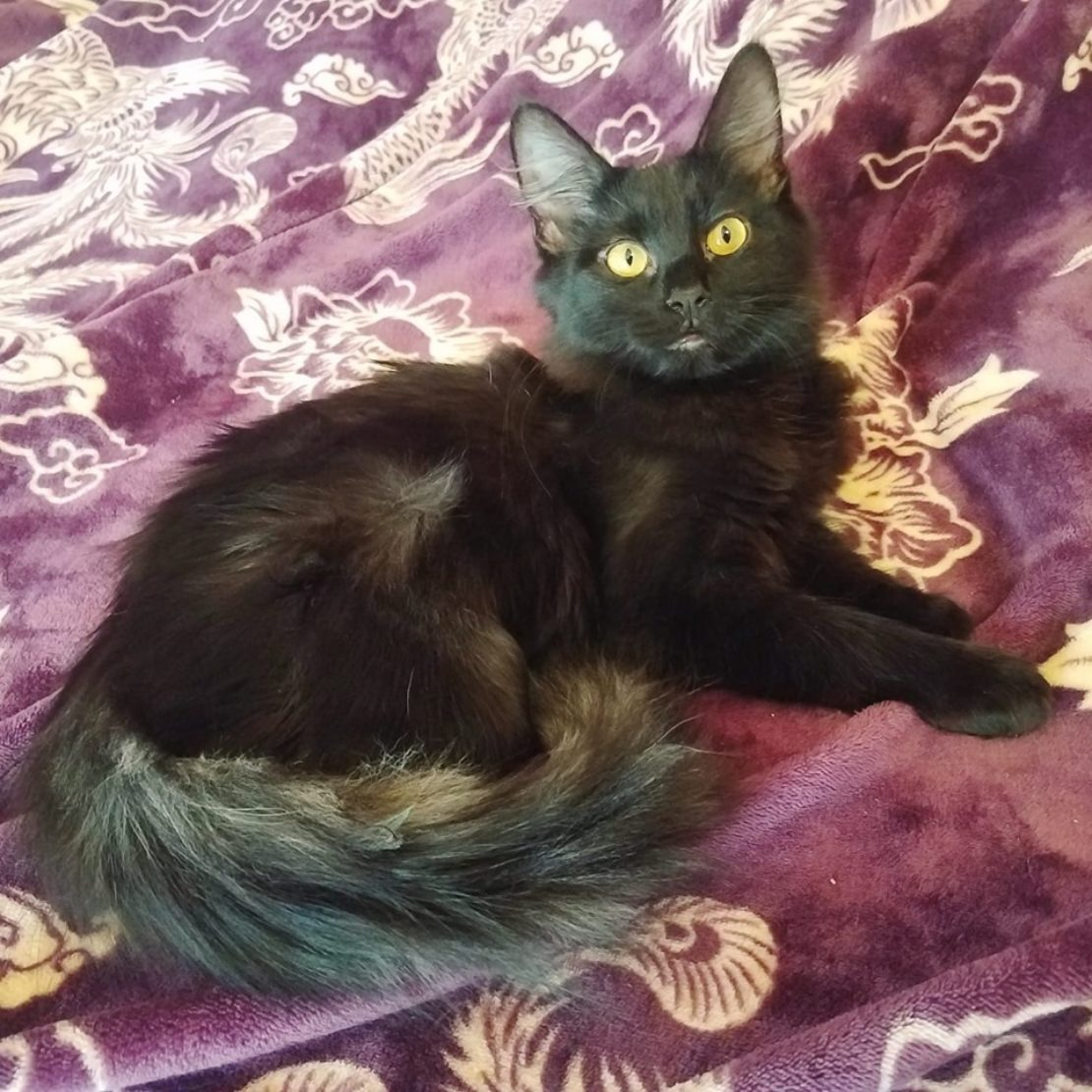 black cat with orange eyes and fluffy tail lies on bedspread