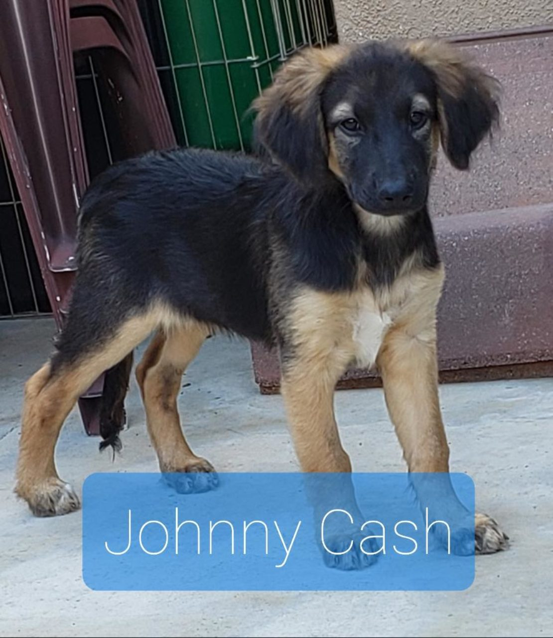 brown terrier/dachshund with tan legs stands on floor. Johnny Cash is written underneath.