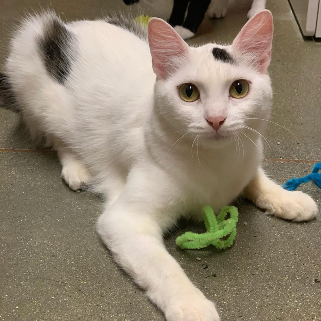 White cat with black marks on head and rump lies and looks up near a green wire toy.