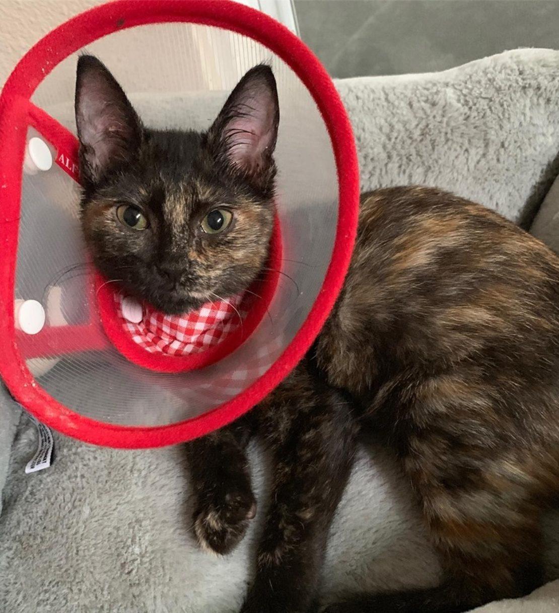 tortie kitten wearing a red-rimmed fancy cone