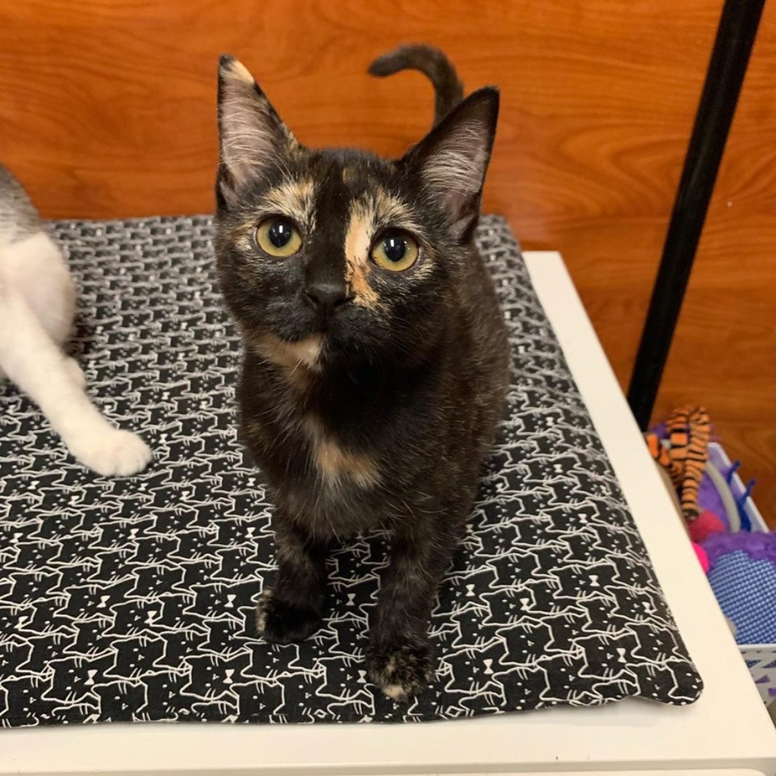 tortie kitten looks up from a bed.