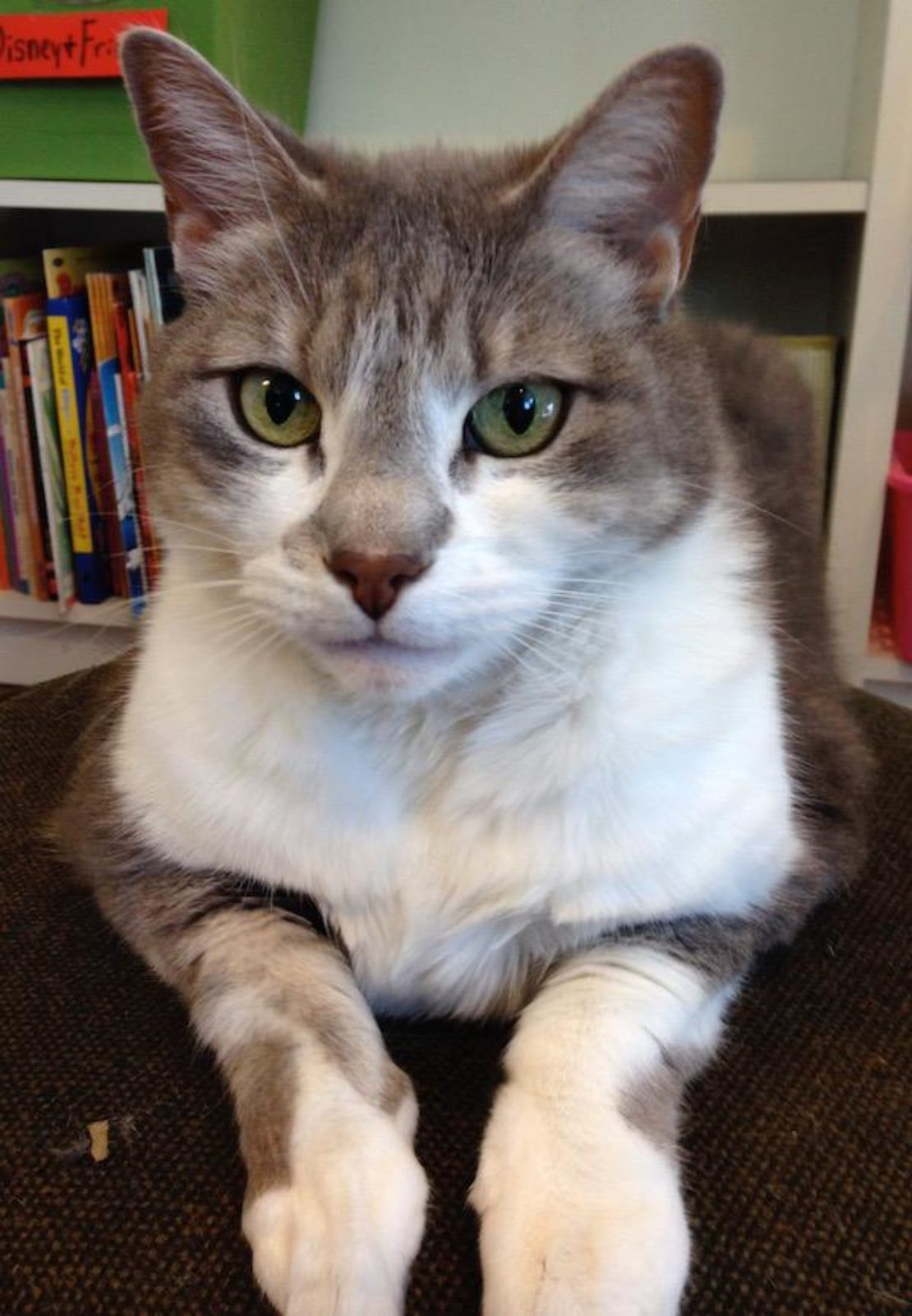 Cat with tiger stripes and huge white bib. She has a triangle of brown on her nose. She relaxes, paws forward, in front of bookshelves.