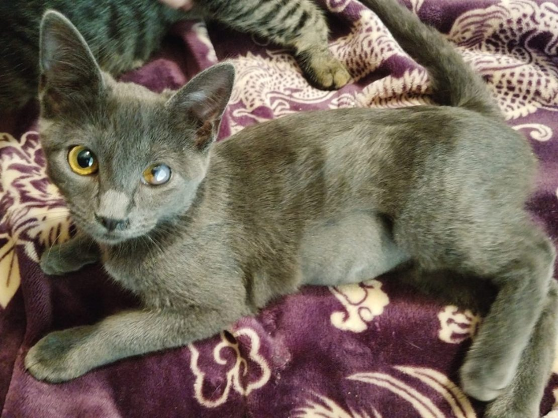 Gray kitten with one yellow eye and one that is cloudy gray, lying on a bedspread.