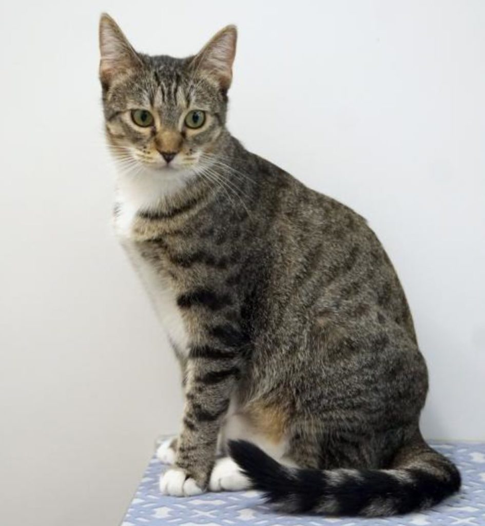 striped cat, brown tabby, with white chest and paws, sitting tall and looking to right.