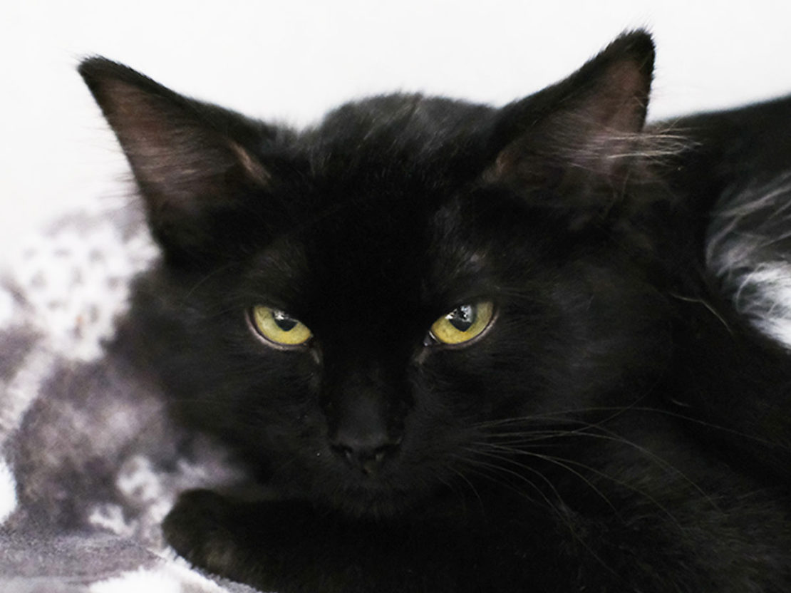 BEautiful black cat with a wide ear span looks out balefully at camera.