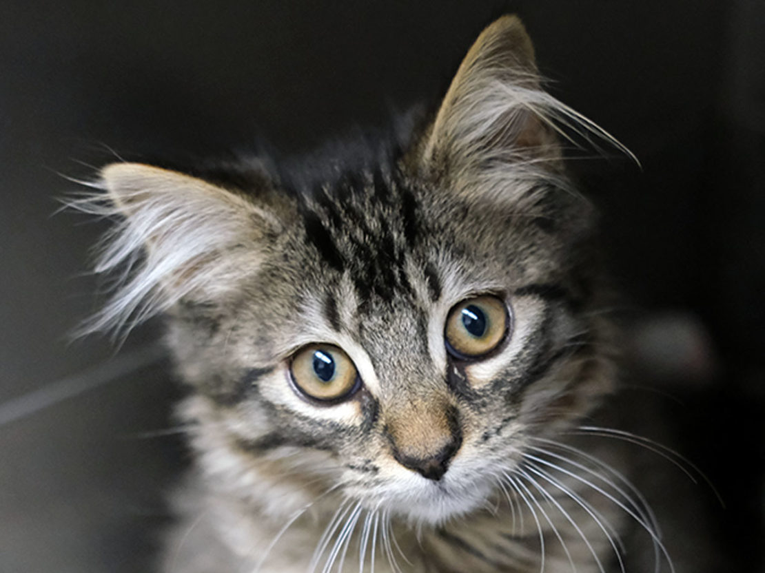 headshot of brown tabby with tufted ears