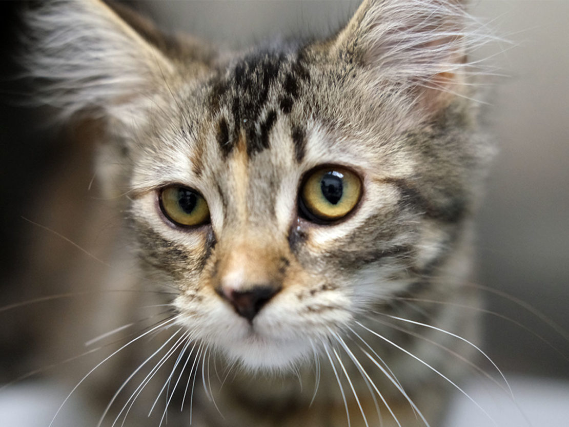 brown tabby with white muzzle and yellow eyes, headshot