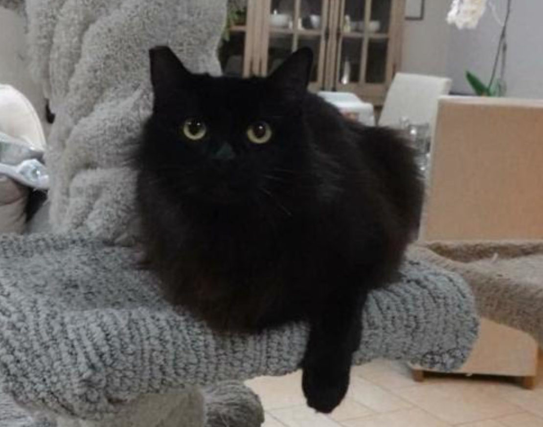 Medium-furred black cat with right arm down relaxes on the arm of a gray chair, with cabinet in background