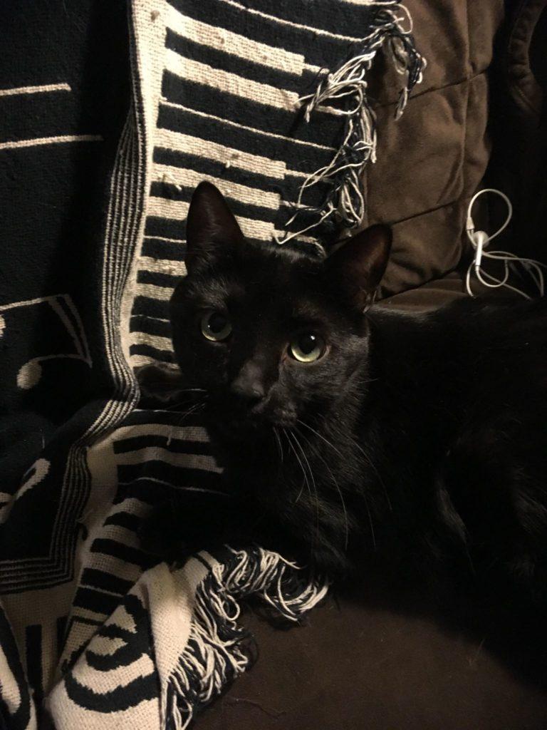 Sleek black cat on a scarf with a piano-key print.