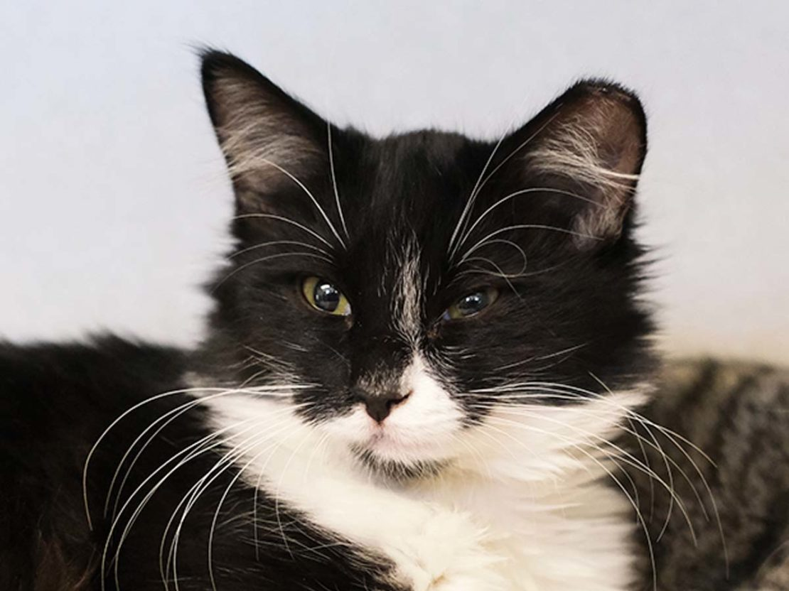 longhaired black-and-white cat with a white muzzle, chest and black nose.