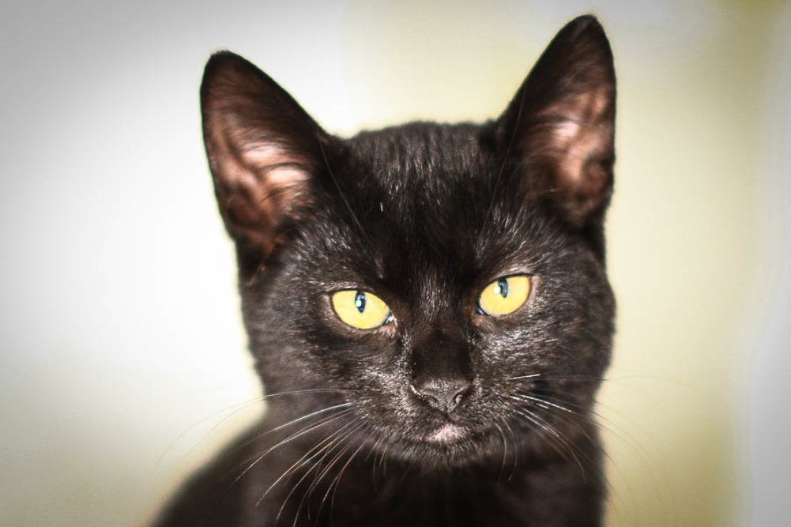 black cat with yellow eyes staring into camera.