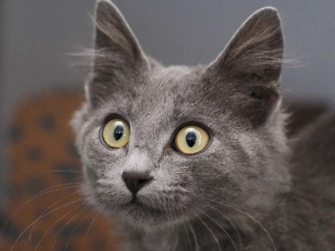 Gray cat with big green eyes stares intently into camera