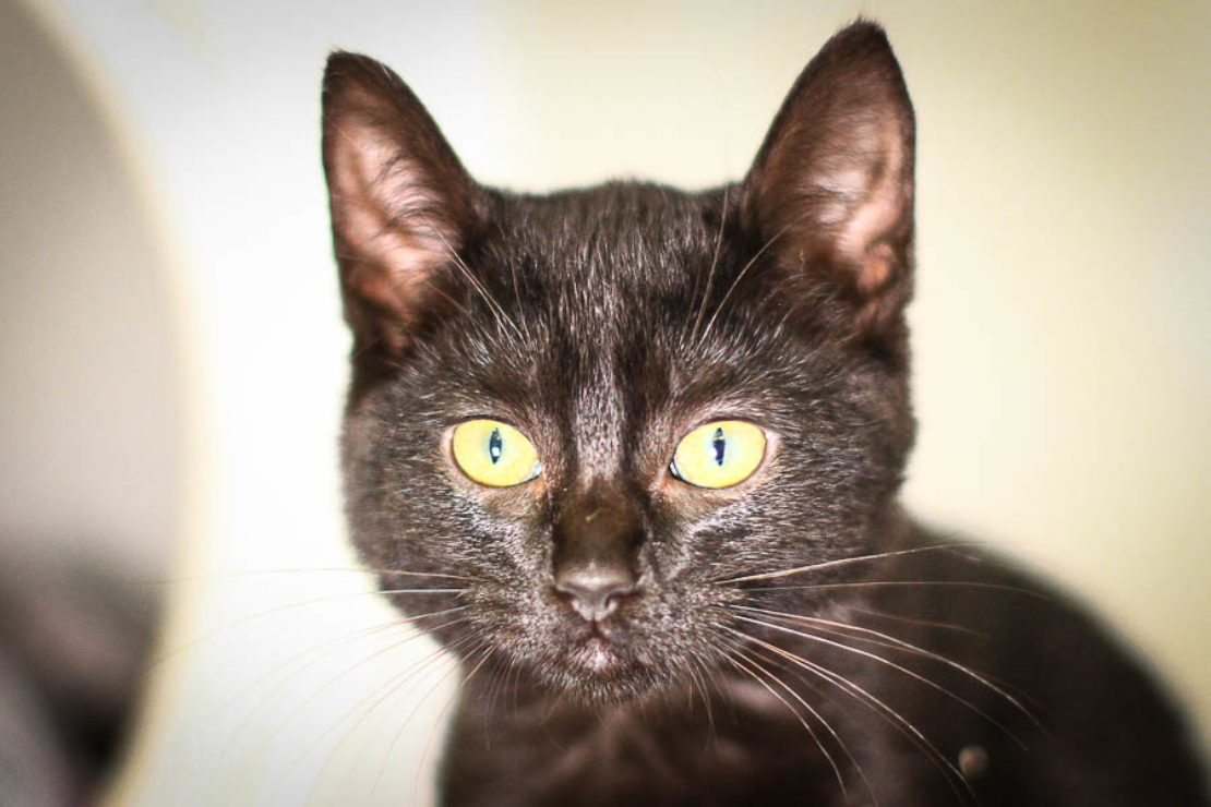 Black cat with yellow eyes looks into camera