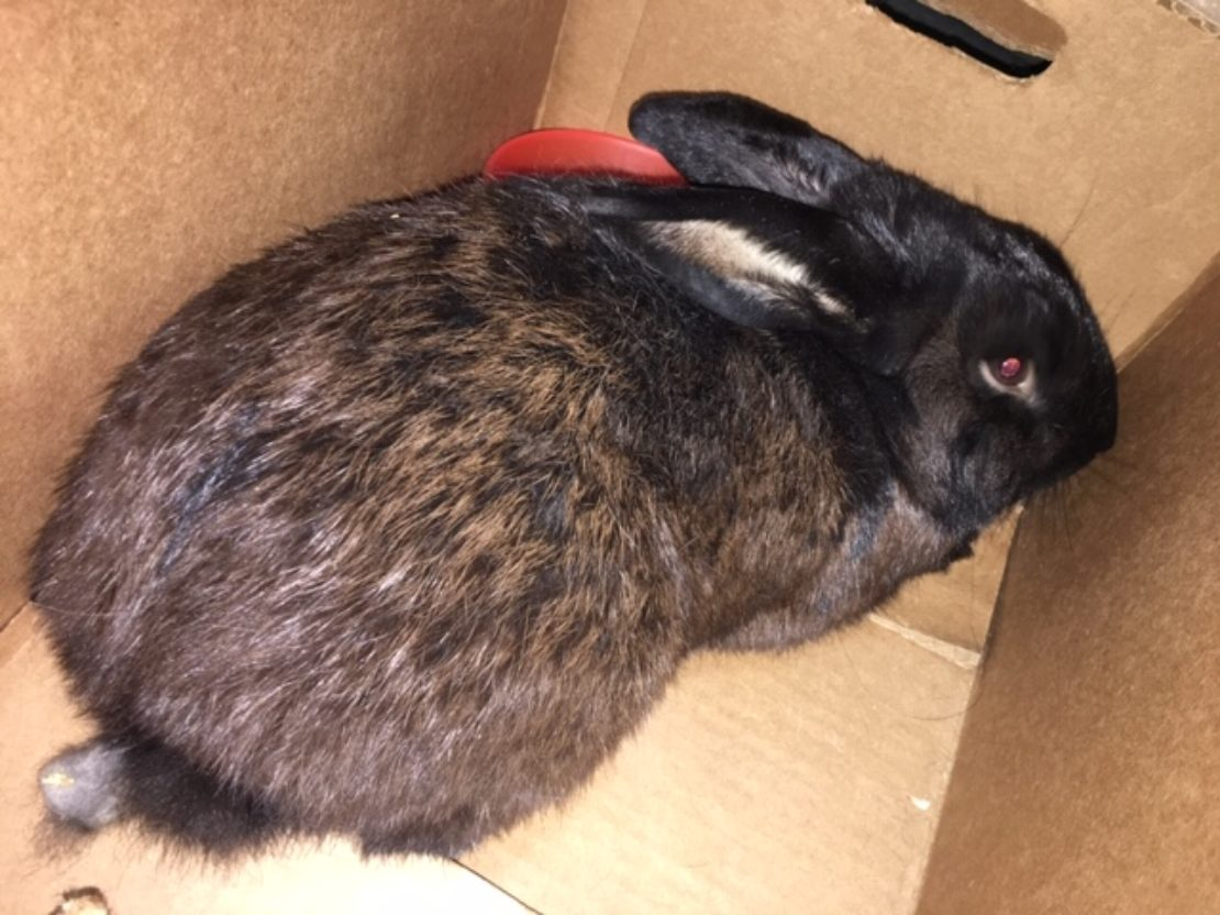 black rabbit with brown-ticked fur hunches in a box