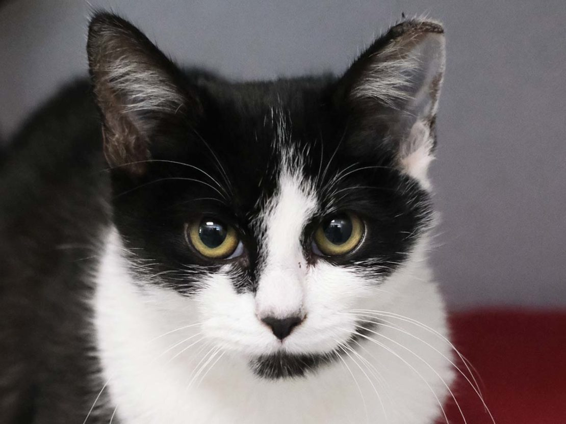 black-and-white cat with big green eyes, white harlequin mask and chest, and black nose