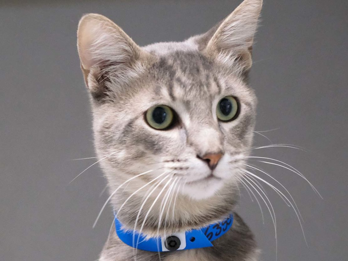 gray-striped kitty with blue collar and alert demeanor.