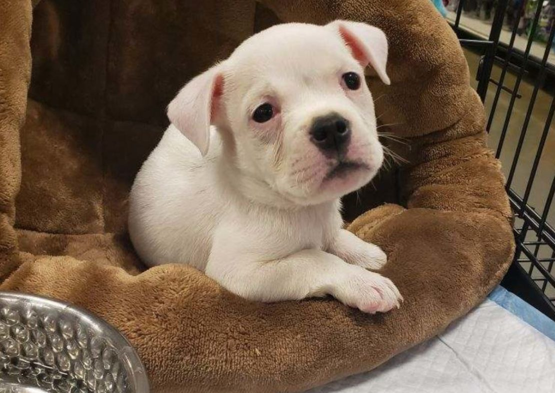 white bulldog puppy looks out from a brown cove bed on a white blanket.