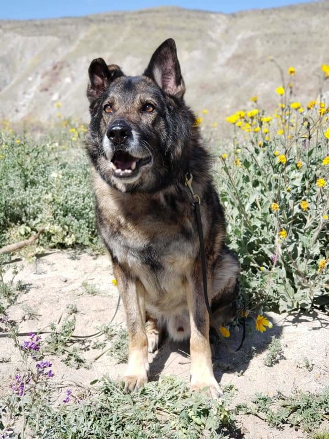 brown and black German shepherd sits on the dirt in a brush-covered area, with yellow flowers in background