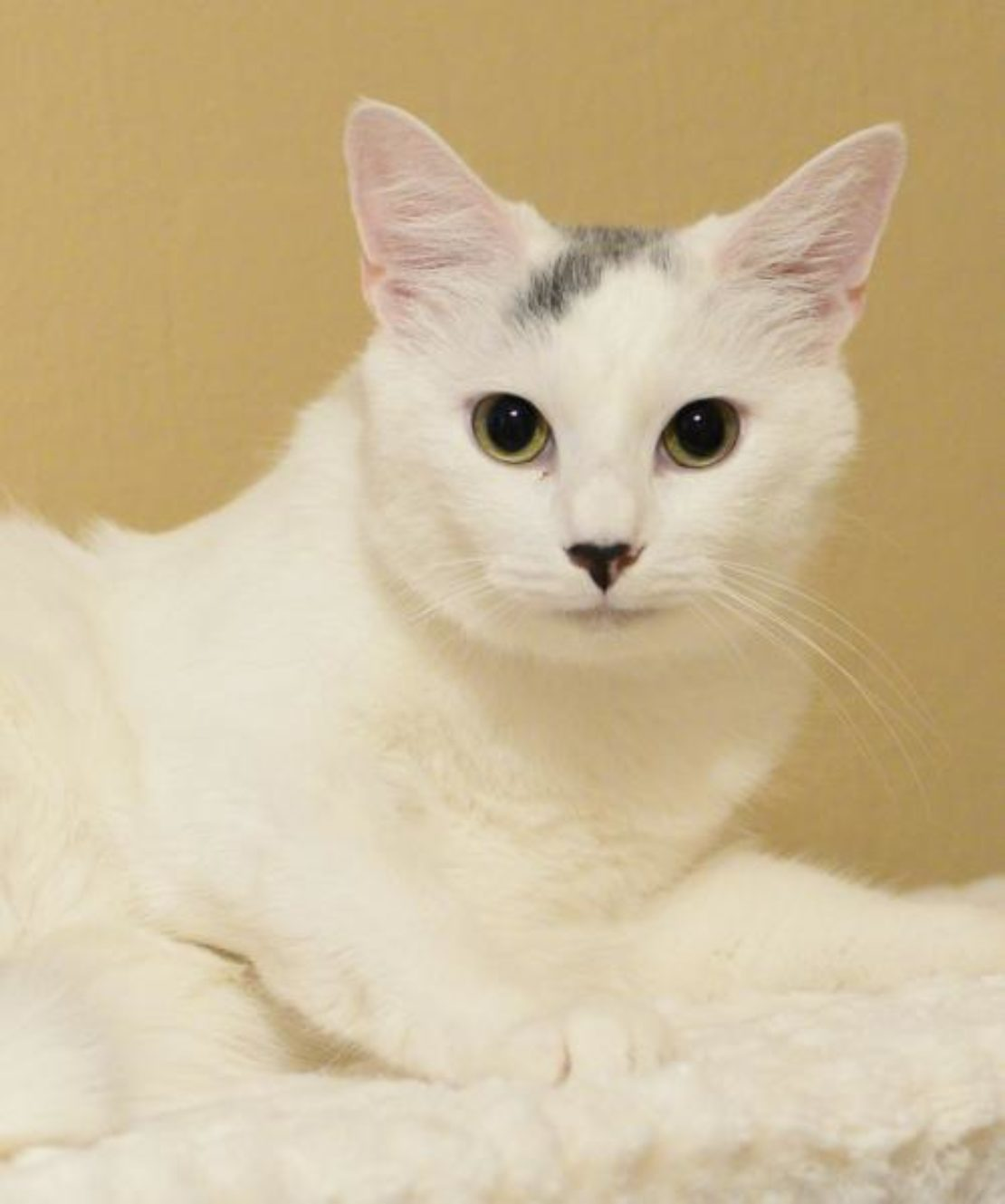 white cat with black streak on forehead