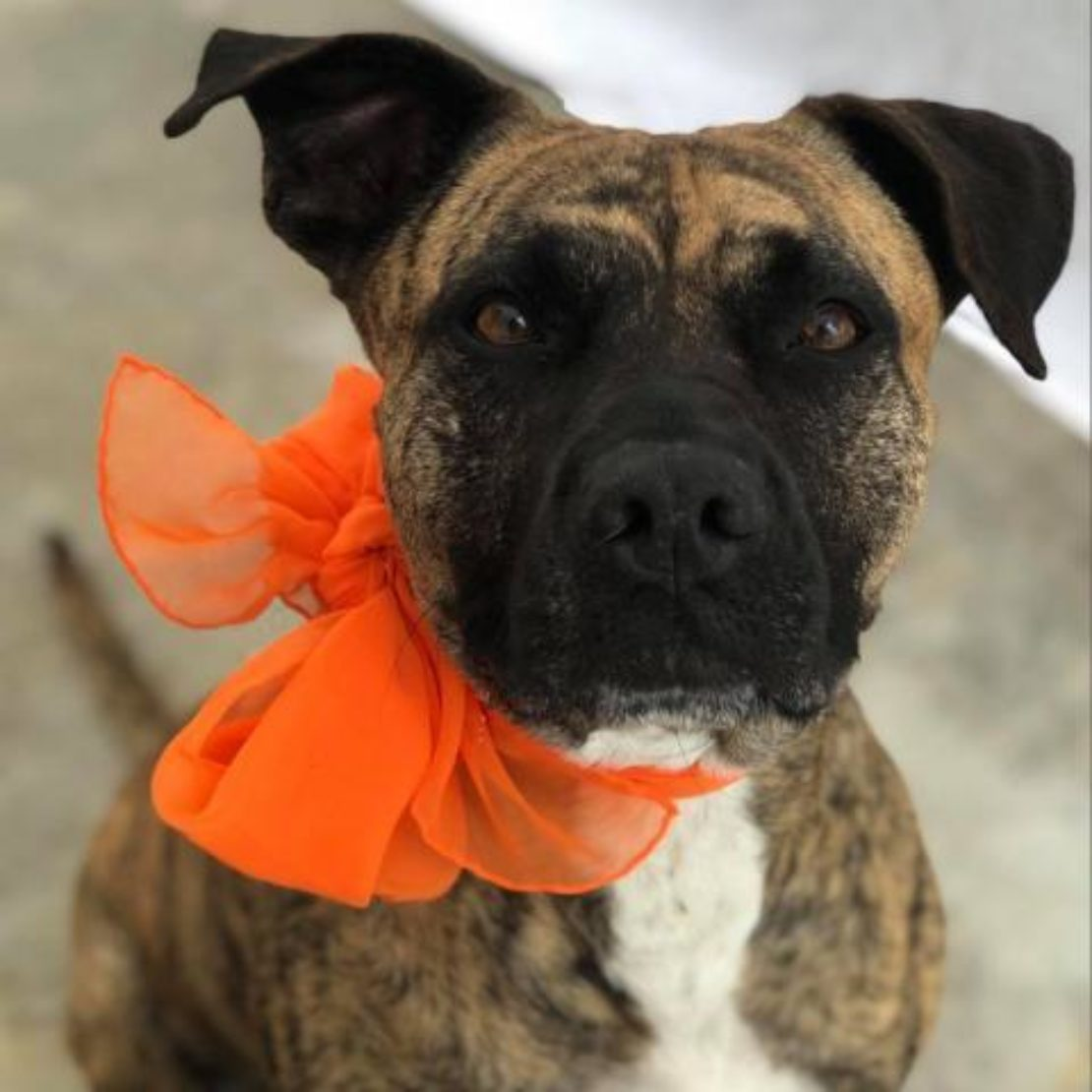 brown dog with black ears and muzzle white chest blaze and orange scarf looks at the camera.