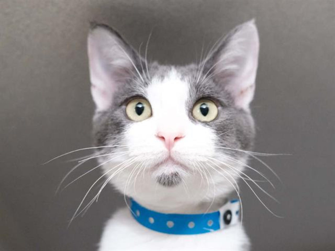 little cat with pink nose; gray ears, mask and goatee; and blue collar, looking into camers