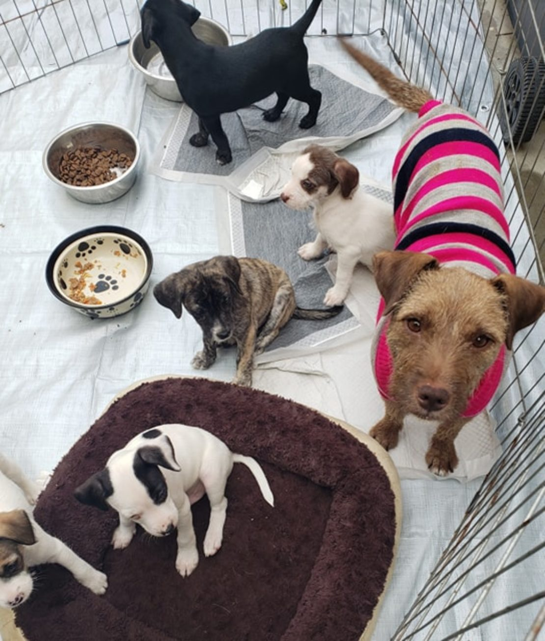 five puppies sit in blankets and beds while mom, a brown dog in a pink, white and black sweater, looks at the camera.
