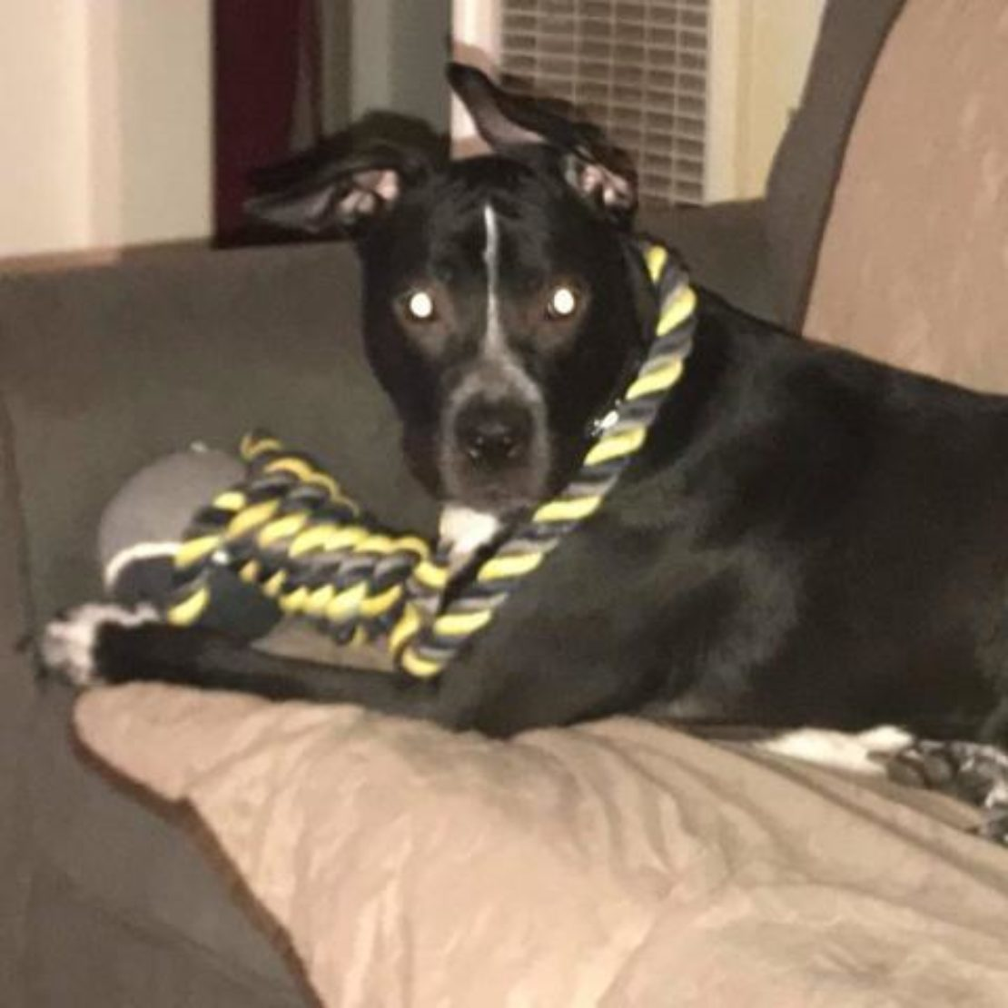 Black dog with floppy ears and a yellow-and-black rope toy across her shoulders stares intently at camera.