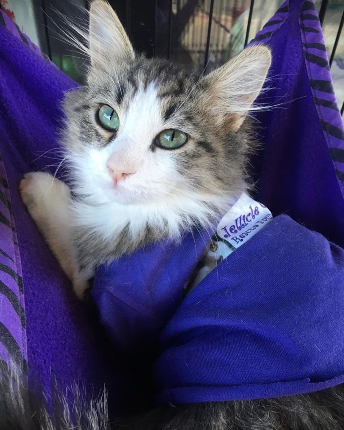 brown tabby with white mask and purple sweater stares lovingly into camera.