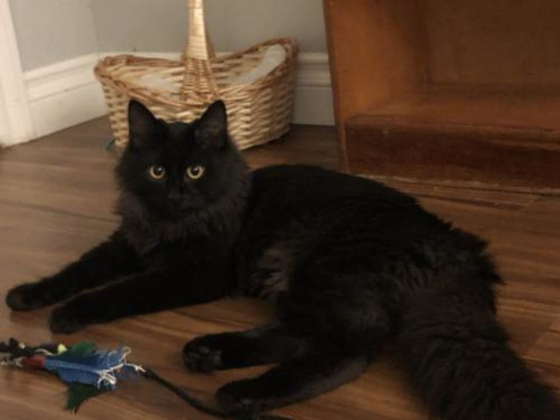 mediumhair black cat lies on wood floor with toy at his front paws.