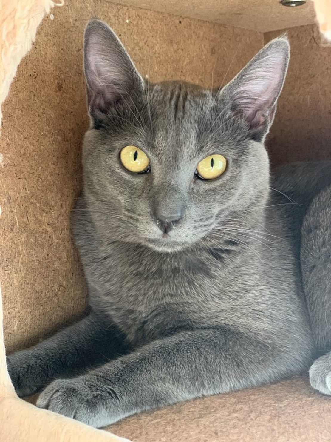 steel-gray cat staring into camera
