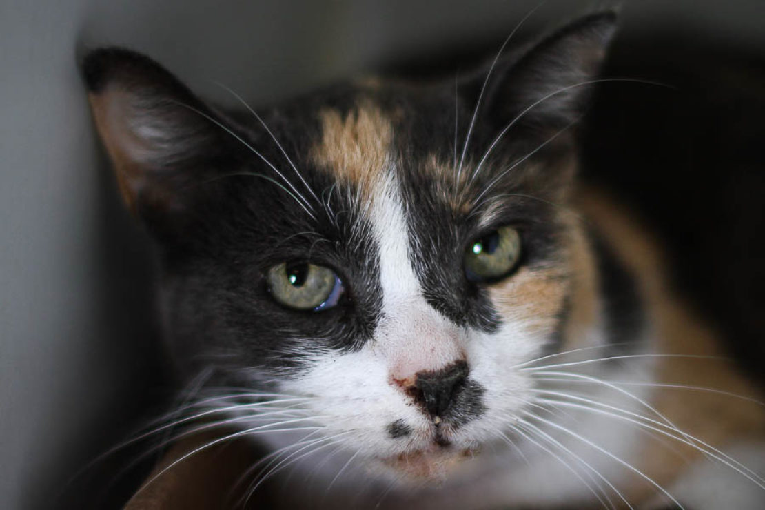 headshot of tortie cat with black mask, white muzzle and 'Madonna mole'