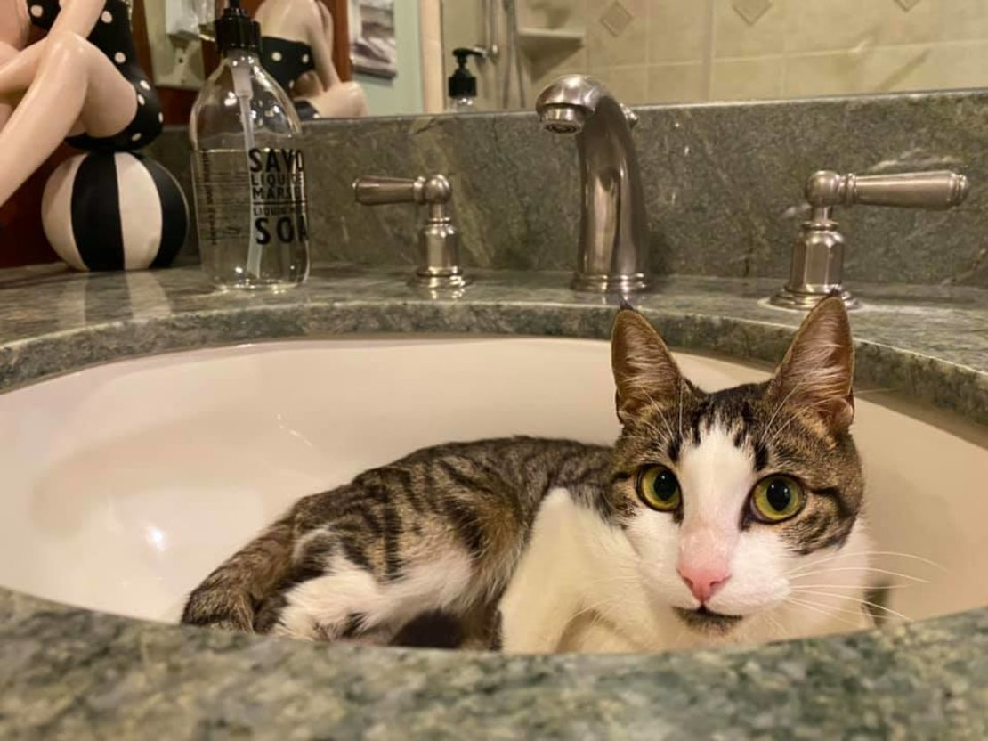 Cat with tabby head mask and body and white muzzle, forehead and chest and pink nose lounges in white sink with marble basin