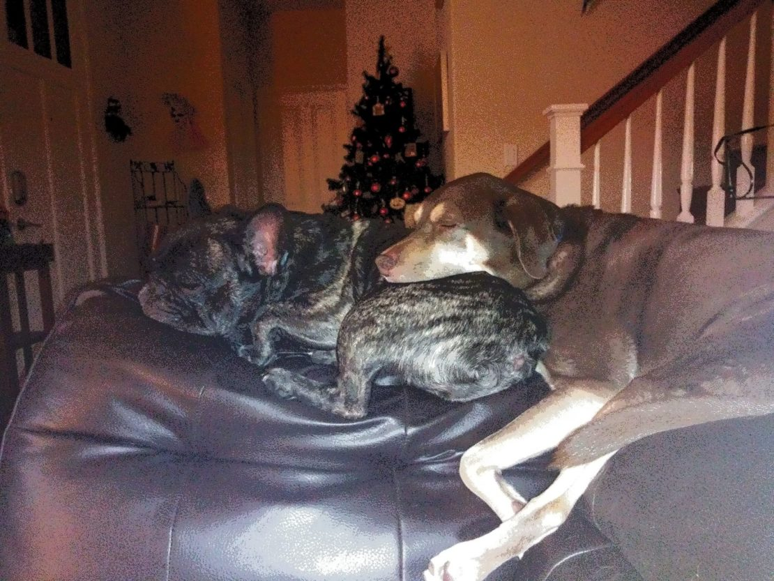 a large brown Lab-type dog snuggling with small black English bulldog mix
