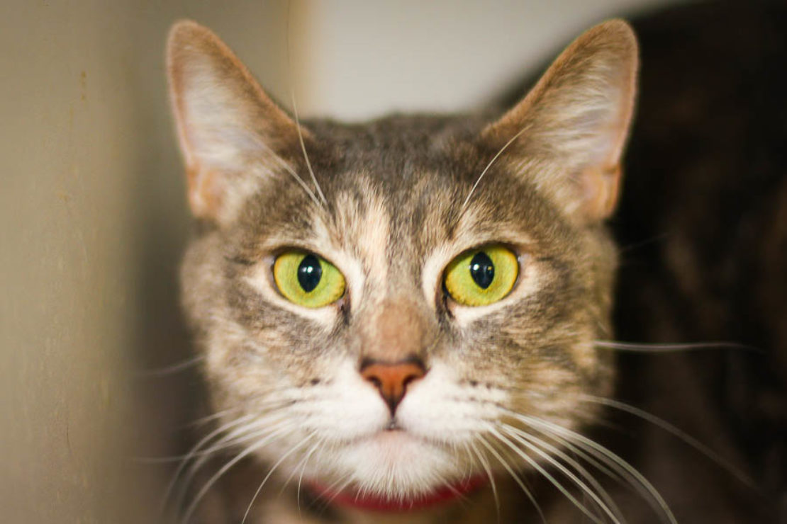 headshot of brown tabby cat with white muzzle and intensely staring green eyes