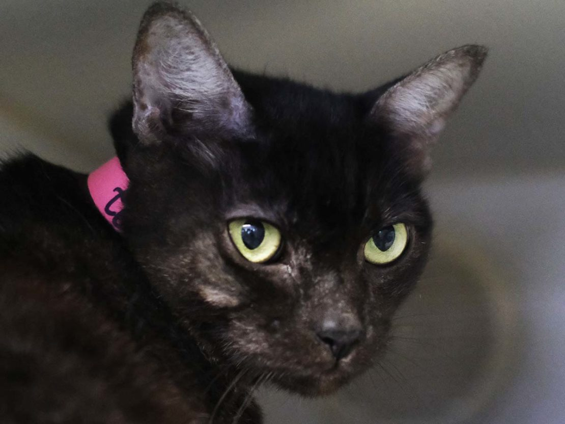 shiny black cat with pink collar staring dolefully at camera