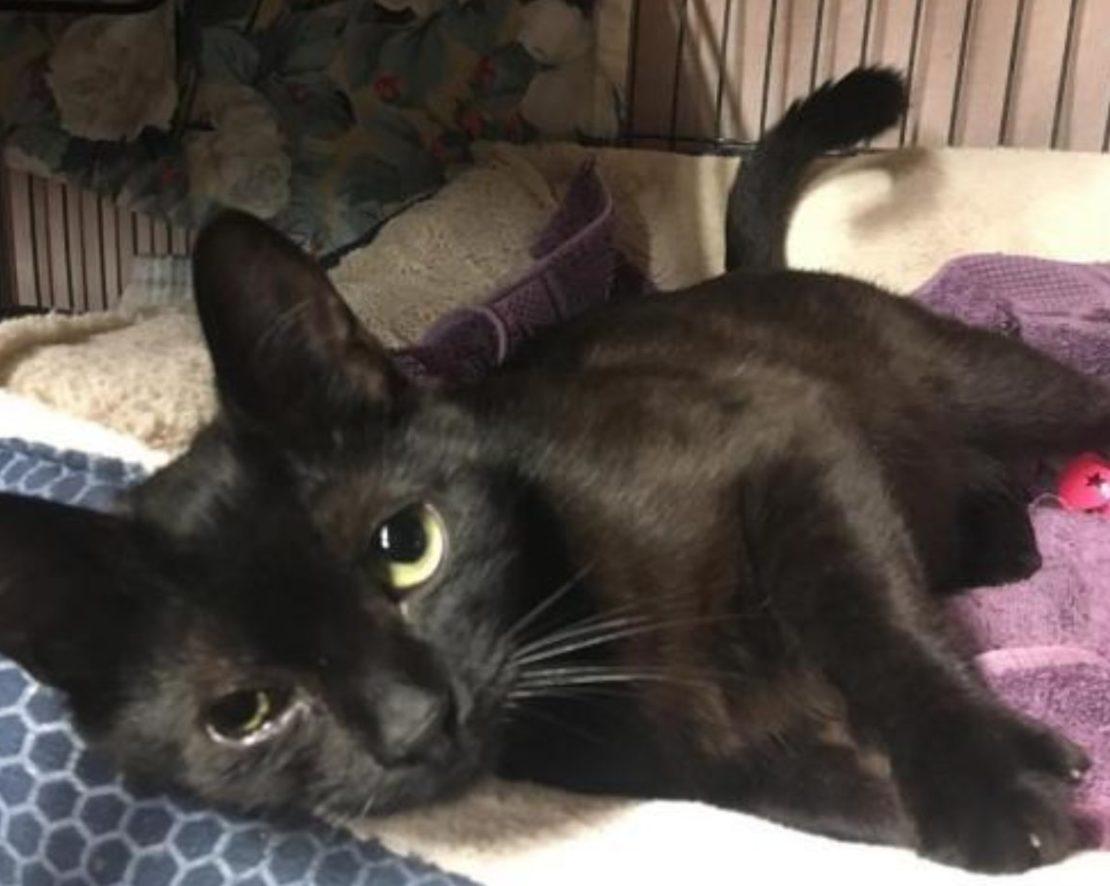 sleek black cat lying on a blanket in a kennel.