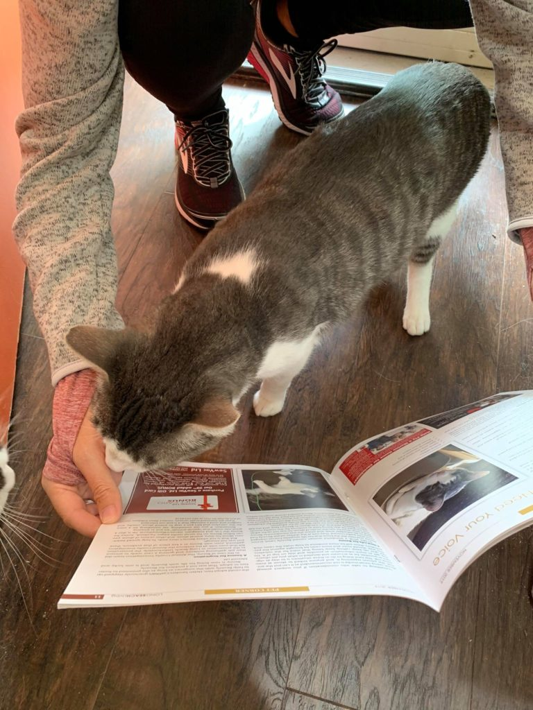 tabby cat with white spot on back and white legs peruses a book held by a human.