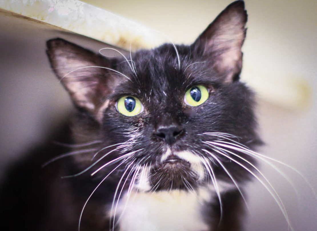 "head shot of mediumhair black cat with ""milk streams"" running on either side of black goatee; white chest."