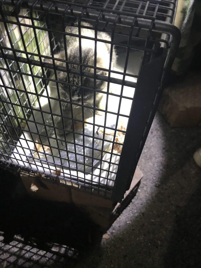 gray tabby kitten in trap